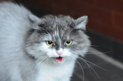 A frightened tousled sizzling cat. Gray cat. About to attack Royalty Free Stock Photo
