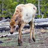 Frightened Young Elk In Yellowstone NP Royalty Free Stock Images