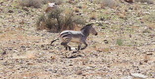 Frightened zebra running and leaving a dust trail Stock Images