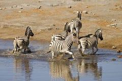 Frightened zebra's fleeing from waterhole. Equus burchelli stock photo