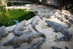 Frightening crocodiles at farm in Thailand Royalty Free Stock Image