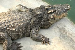 Frightening crocodiles at farm in Thailand Stock Images