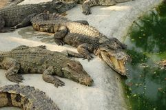 Frightening crocodiles at farm in Thailand Stock Image