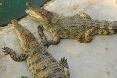 Frightening crocodiles at farm in Thailand Stock Photos