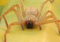 Frightening giant spider Stock Images