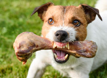 Frightening jaws of angry dog protecting big bone Stock Images