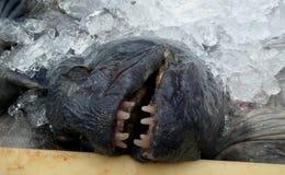 Frightful fish head Royalty Free Stock Photos