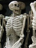 Frightful human skeletons, a traditional Halloween symbol. royalty free stock photography