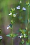 Frigida de Euphrasia O eyebright de florescência em agosto no Yama imagem de stock