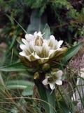 Frigida Gentiana blanco salvaje en el Himalaya de Annapurna Imagen de archivo
