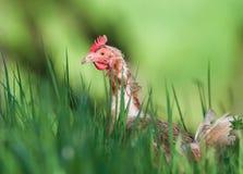 Frigjord höna i gräset royaltyfri foto