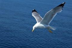 Frihet för Seagull` s Royaltyfri Foto
