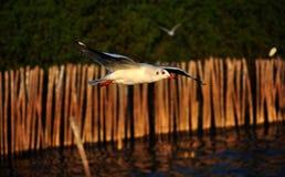 Frihetsfiskmås arkivfoton