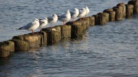 Frihetsflocken av seagullen kopplar av och solbada på träPoles fotografering för bildbyråer