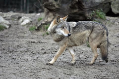 frihetswolf Royaltyfria Foton
