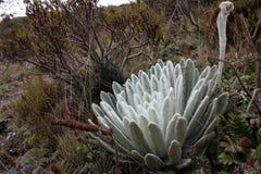 Frilejones, espeletia nel picco del Bolivar del ³ n di Simà Fotografia Stock Libera da Diritti