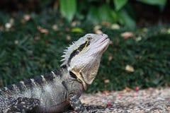 Frill Neck Lizard Stock Image