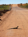 Frill Neck Lizard on Road Stock Photos