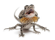 Frill-necked lizard Stock Photo