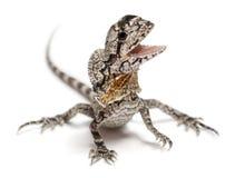 Frill-necked lizard Stock Photography