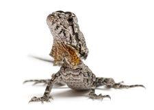 Frill-necked lizard Royalty Free Stock Photo