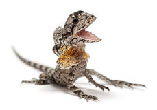 Frill-necked lizard Royalty Free Stock Image