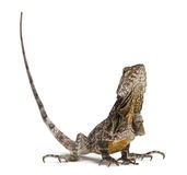 Frill-necked lizard Royalty Free Stock Photos