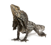 Frill-necked lizard Royalty Free Stock Images