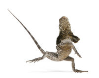 Frill-necked lizard, also known as the frilled Royalty Free Stock Photos