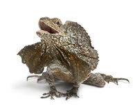 Frill-necked lizard, also known as the frilled Stock Photography