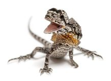 Frill-necked lizard also known as the frilled lizard, Chlamydosa Stock Photography