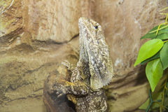 Frill-necked lizard from Australia Stock Images
