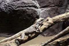 Frill-necked lizard on branch tree Stock Photo