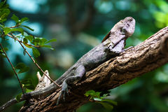 Frill-necked lizard (Chlamydosaurus kingii) Stock Photo