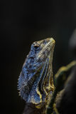 Frill-necked lizard Royalty Free Stock Photography