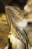 Frill-necked lizard profile Stock Images
