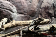 Frill-necked lizard on a tree Royalty Free Stock Photography