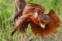 frilled蜥蜴 库存照片