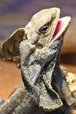 frilled ящерица Стоковая Фотография RF