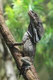 Frilled ящерица Стоковые Фотографии RF
