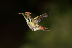 Frilled Coquette in hover Royalty Free Stock Photos