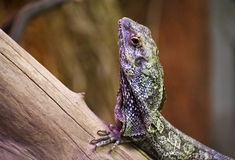 Frilled Dragon Stock Image