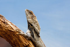 Frilled Dragon Closeup Royalty Free Stock Photo