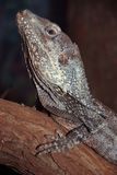 Frilled lizard Stock Photos