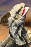 Frilled Lizard. The frill-necked lizard (Chlamydosaurus kingii) is so called because of the large ruff of skin which usually lies folded back against its head Royalty Free Stock Photography