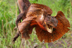 Frilled Lizard Stock Photo