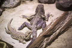 Frilled lizard (Chlamydosaurus kingii) and Central bearded dragon (Pogona vitticeps) Royalty Free Stock Photo