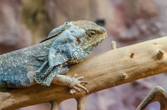 Frilled Lizard Stock Photography