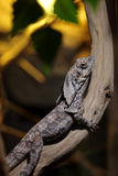Frilled-neck lizard (Chlamydosaurus kingii) Stock Image