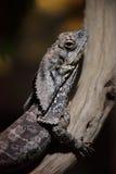 Frilled-neck lizard (Chlamydosaurus kingii) Stock Image